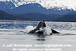 Humpback Whale Lunge-Feeding pictures