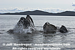 Humpback Whale Lunge-Feeding images