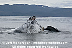 Humpback Whale Lunge-Feeding photos