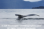 Humpback Whale Tail Fluke pictures