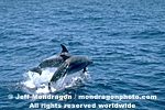 Common Dolphin images