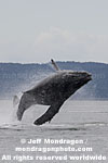 Humpback Whale Breach images