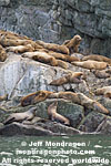Steller Sea Lions photos