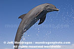 Bottlenose Dolphin Jumping photos