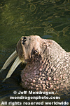 Walrus photos