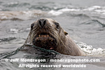 Steller (or northern) Sea Lion images