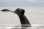 Humpback Whale  pictures
