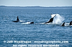 Killer Whale pictures