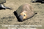 Northern Elephant Seal pictures