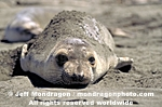 Northern Elephant Seal images
