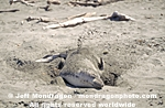 Northern Elephant Seal photos