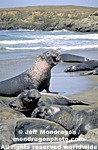 Northern Elephant Seals pictures