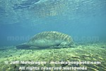 West Indian Manatee photos