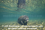 West Indian Manatee images