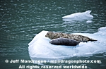 Harbor Seals on Iceberg pictures