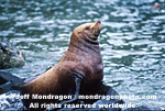 Steller Sea Lion images