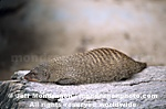 Banded Mongoose images