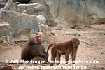 Adult Hamadryas Baboons pictures