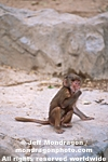 Baby Hamadryas Baboons images