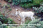 Dall Sheep images