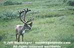 Caribou photos