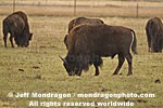 Wood Bison pictures