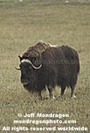 Musk Ox pictures
