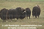 Musk Ox images
