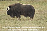 Musk Ox photos