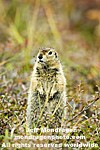 Arctic Ground Squirrel photos