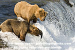Brown (Grizzly) Bears photos