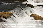 Brown (Grizzly) Bears images