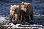 Brown (Grizzly) Bear Cubs pictures