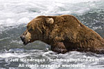 Brown (Grizzly) Bear photos