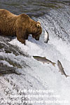 Brown (Grizzly) Bear images