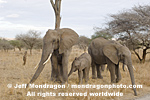 African elephants photos