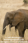 African elephant images