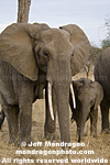 African elephants pictures