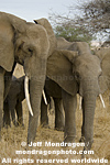 African elephants images