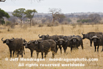 African Buffalo or Cape Buffalo  photos