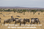 Blue Wildebeest photos