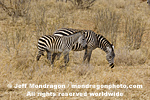 Plains zebras images