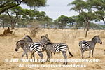 Plains zebras photos