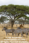 Plains zebras pictures