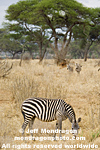 Plains zebra pictures