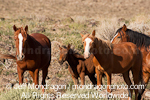 Wild Horses with Foal images