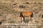 Wild Horse Foal images