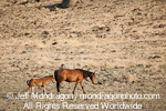 Wild Horse Mare with Foal pictures