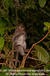 Nicobar Long-tailed Macaque images