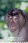 Pig-Tailed Macaque Monkey pictures